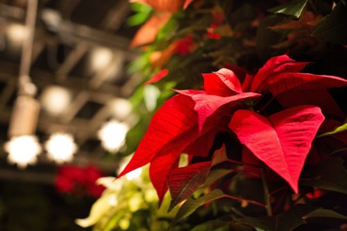 Are Poinsettias Poisonous? | The Girl with a Shovel